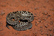 Rupununi Rattlesnake (Crotalus durissus trigonicus)<br /> Savannah<br /> Rupununi<br /> GUYANA. South America<br /> RANGE: South America east of the Andes, from Panama and Colombia south to northern Argentina, as well as on Trinidad and Tobago.