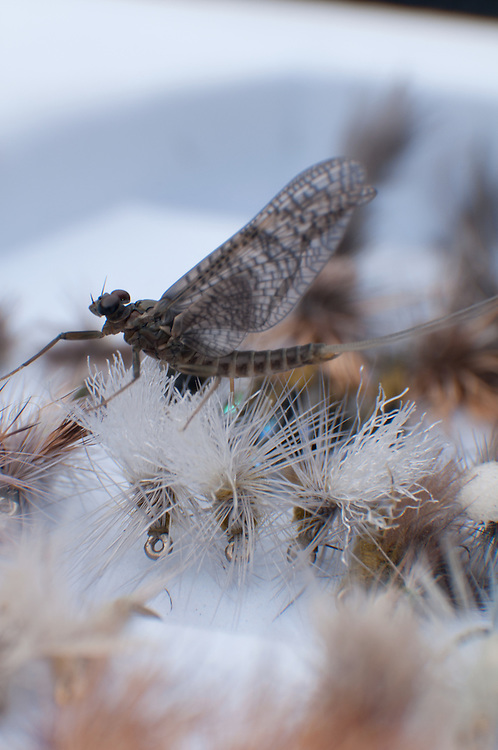 A March Brown drys its wings on an open fly box.