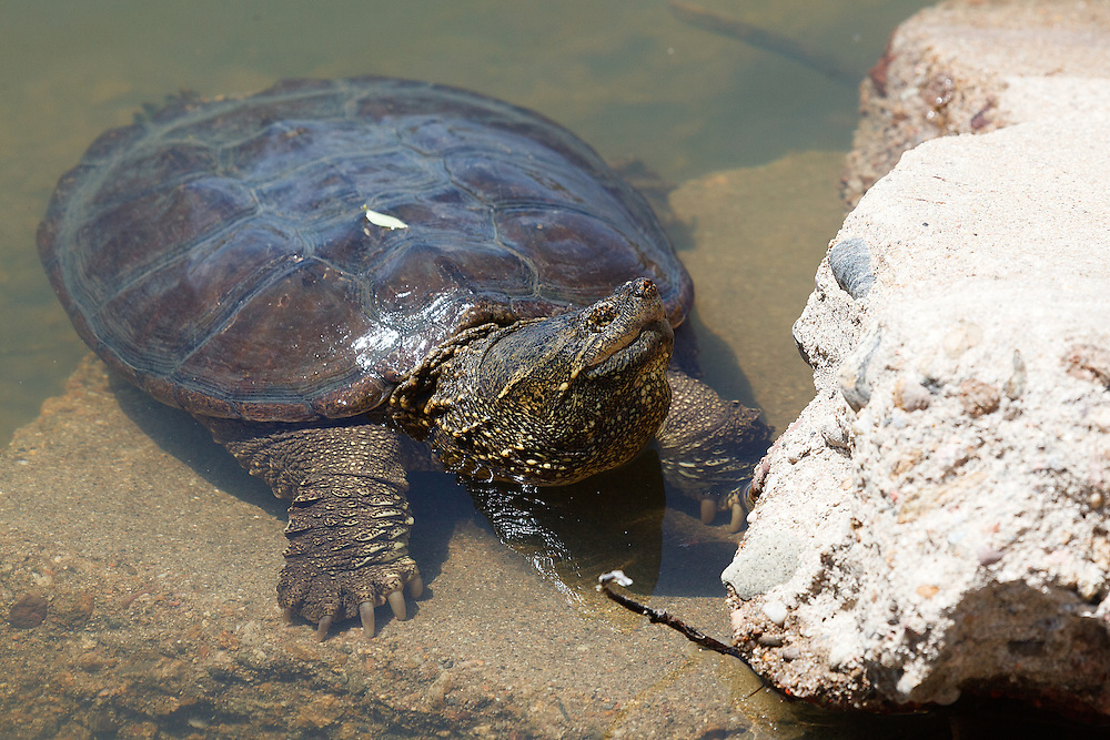 Snapping turtle, Twin Lakes Open Space, Boulder, Colorado