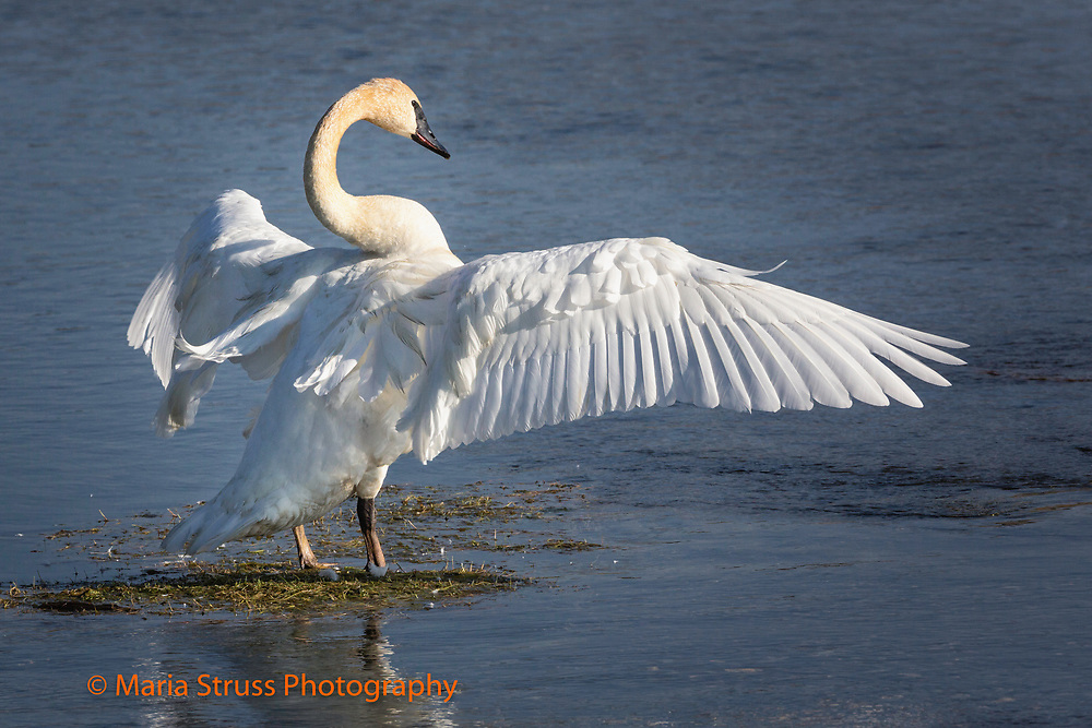 The trumpeter swan is the heaviest native North American bird.  The swan's wing span can reach 10 feet. Due to their size and weight they require a long distance to become airborne.It breeds in wetlands from Alaska to the Northwest United States.