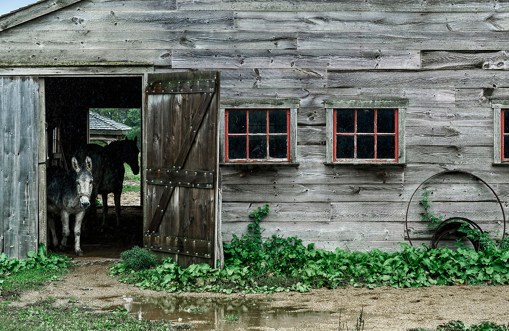 Donkey takes cover in a barn during rain, West Tisbury, Martha's Vineyard, Massachusetts, USA
