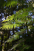 Foiage of a Tree Fern (Dicksonia antarctica) in a temperate rainforest, Tasmania, Australia