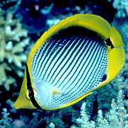 Blackbacked Butterflyfish inhabit reefs. Picture taken Raja Ampat, Indonesia.