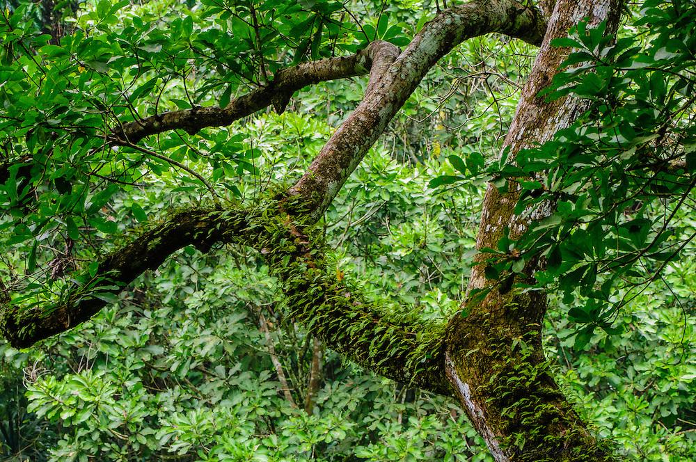 Epiphyte ladened rainforest tree, canopy view; Soberania National Park, Panama