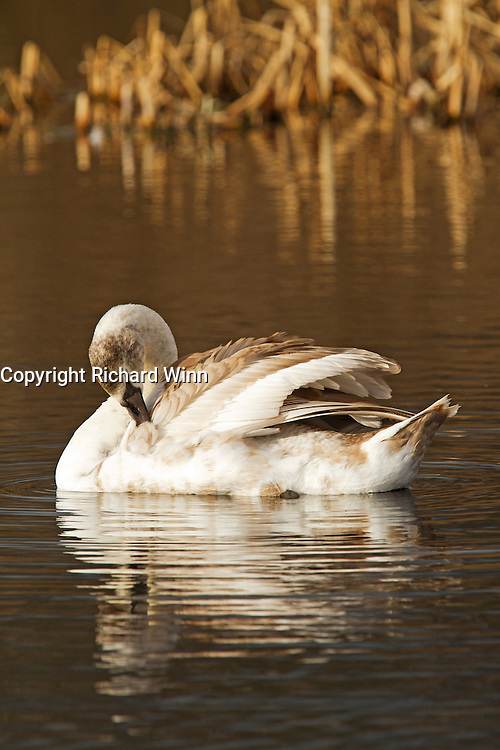 Juvenile mute swan, with reflection, while preening at Westhay Moor Nature Reserve.