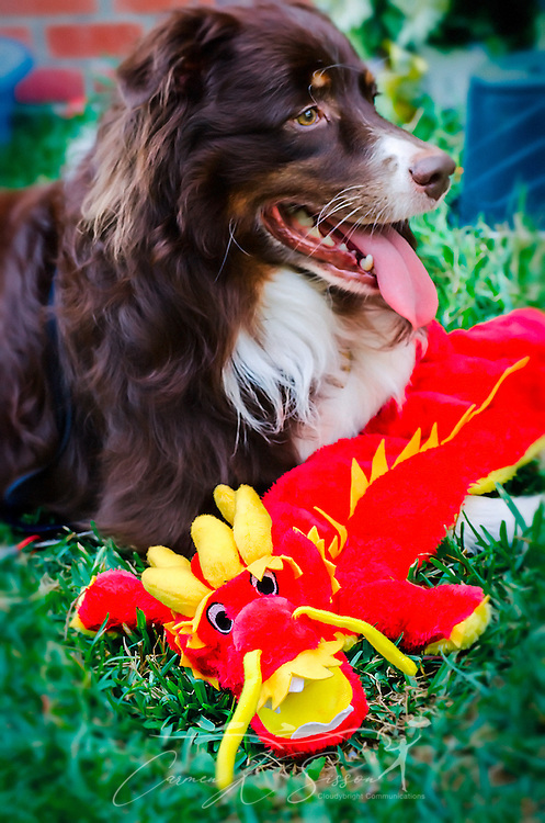 Cowboy, a six-year-old, red tri Australian Shepherd, plays in his backyard with a stuffed dragon, Aug. 12, 2014. (Photo by Carmen K. Sisson/Cloudybright)