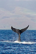 Humpback Whale, Megaptera novaeangliae, Tail Wave 2 of 8, Maui Hawaii