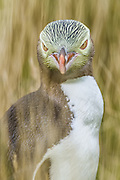 Portrait of a Yellow-eyed Penguin in a staring contest, New Zealand