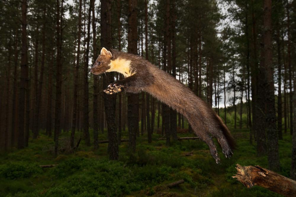 Pine marten (martes martes) leaping in woodland at dusk, Scotland.