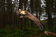 Pine marten (martes martes) leaping in woodland at dusk, Scotland.