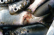 SHELLTOWN, MD, USA - 1997/09/25: Menhaden fish with open sores from the flesh eating Pfiesteria disease outbreak in the Pocomoke River along the Chesapeake Bay September 25, 1997 in Shelltown, Maryland. The outbreak caused a loss of $43 million dollars in fishing revenue and is believed to be caused by the runoff of chicken manure from farms in the area. (Photo by Richard Ellis)