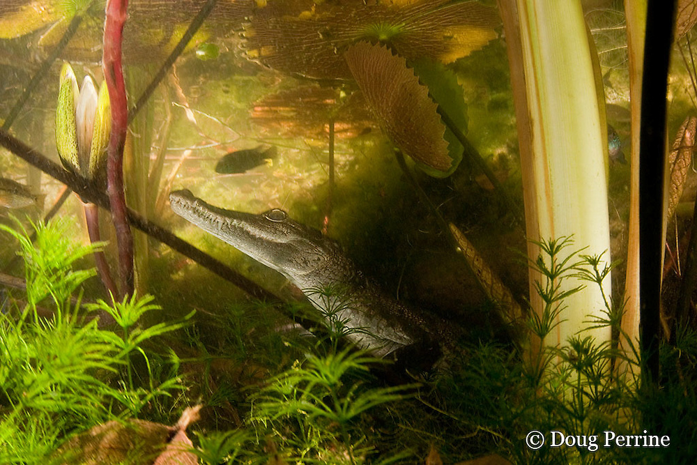 juvenile Morelet's crocodile, Central American crocodile, or Belize crocodile, Crocodylus moreletii, hides underwater among water lilies and other vegetation in cenote or freshwater spring near Tulum, Yucatan Peninsula, Mexico ( freshwater )