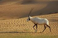 Arabian Oryx (Oryx leucoryx) Dubai Desert Conservation Reserve, Dubai., UAR.