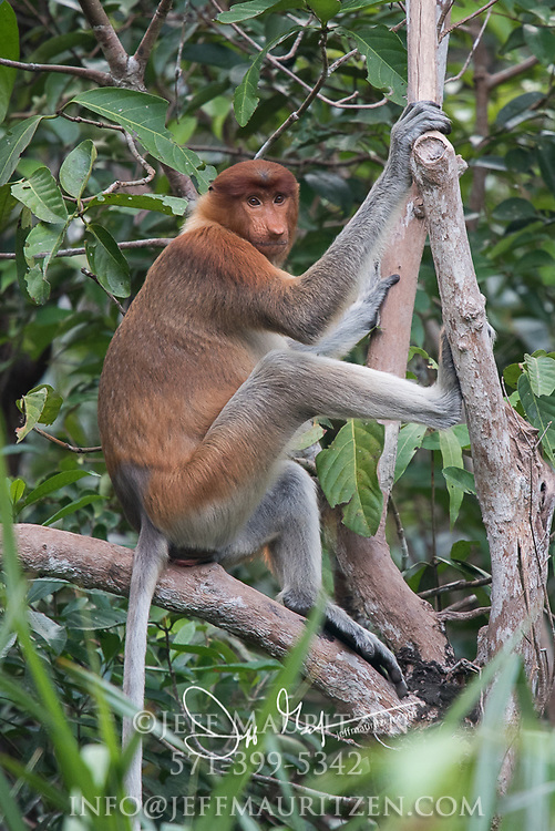 A proboscis monkey clings to a tree in Tanjung Puting National Park on the island of Borneo.