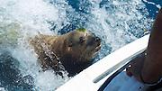 Sea Lion, Cabo San Lucas, Baja, Mexico