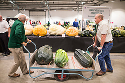 © Licensed to London News Pictures. 16/09/2016. Harrogate UK. Judging has begun this morning in the Giant vegetable competition that see's competitors from across the UK show their biggest Carrot's, Cucumbers, Cabbages, Onion's & Tomatoes competing for the title of heaviest & longest at the Harrogate Autumn Flower Show. Photo credit: Andrew McCaren/LNP