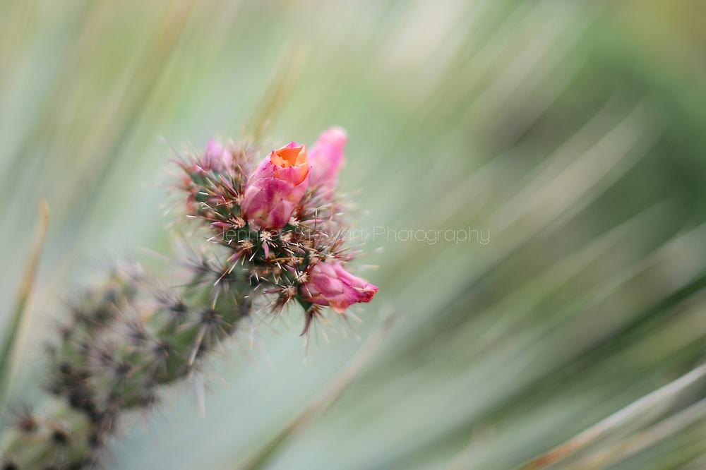 SCOTTSDALE, AZ - APRIL 10: Detail view of cholla cactus bloom. (Photo by Jennifer Stewart)