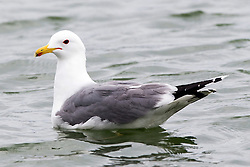 Western Gull (Larus occidentalis), Baylands Nature Preserve, Palo Alto, California, United States of America