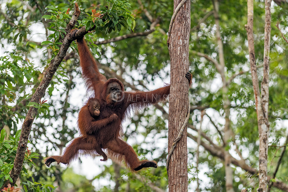 Borneo Orangutan (Pongo pygmaeus wurmbi) and it's tiny infant moving rapidlty through the canopy of Tanjung Puting National Park, Kalimantan, Indonesia