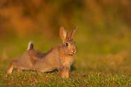 European Rabbit (Oryctolagus cuniculus) young, stretching on grazing marsh, Norfolk, UK.