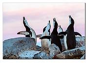 Chinstrap penguins displaying at the top of Useful Island, Antarctic Peninsula.  Nikon D850, 70-200mm @ 200mm, f7.1, EV-1, 1/250sec, ISO640, Aperture priority