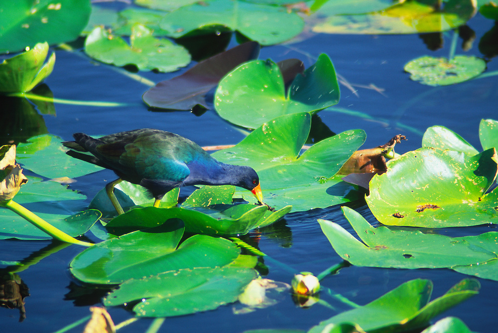 Purple Gallinule (Porphyrio martinica) feeding on lily pads in Everglades National Park, Florida.