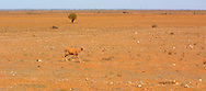 Starving sheep in arid landscape.<br />