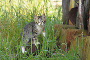Tabby kitten in grass