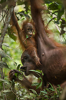 Juni, a adult female, and her 11 month old daughter, Jane. Juni is eating fruit of Ardisea sp.  and Jane is watching/learning and eating some herself<br /> <br /> Bornean Orangutan <br /> Wurmbii Sub-species<br /> (Pongo pygmaeus wurmbii)<br /> <br /> Tuanan Field Site<br /> Tuanan Orangutan Research Project<br /> Mawas Conservation Area<br /> Central Kalimantan Province<br /> Island of Borneo<br /> Indonesia