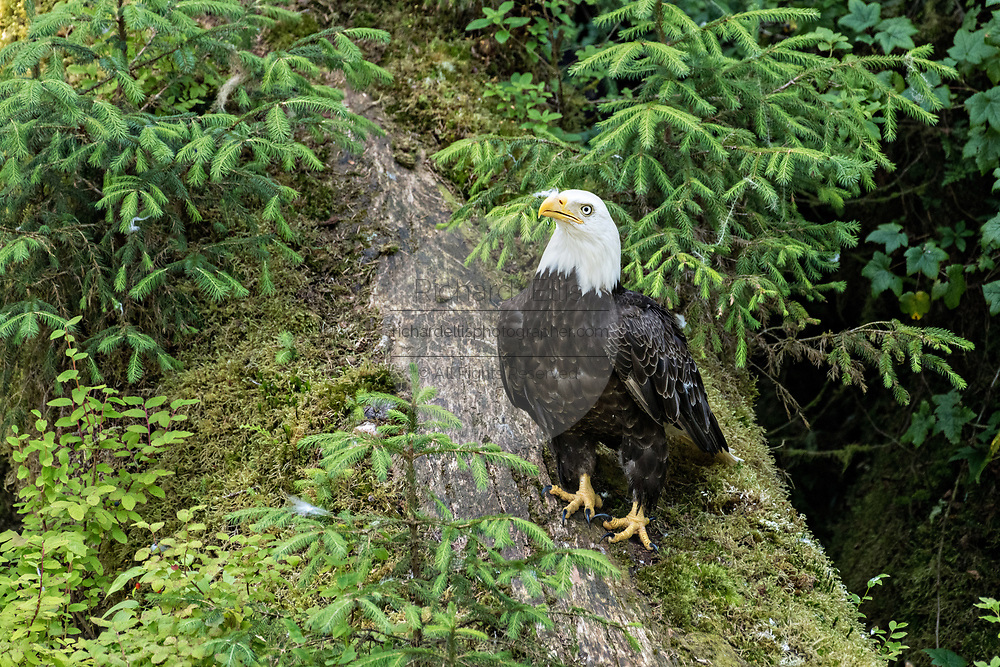 An adult Bald Eagle watches for scraps of salmon from a log as bears feed at Anan Creek in the Tongass National Forest, Alaska. Anan Creek is one of the most prolific salmon runs in Alaska and dozens of black and brown bears gather yearly to feast on the spawning salmon.