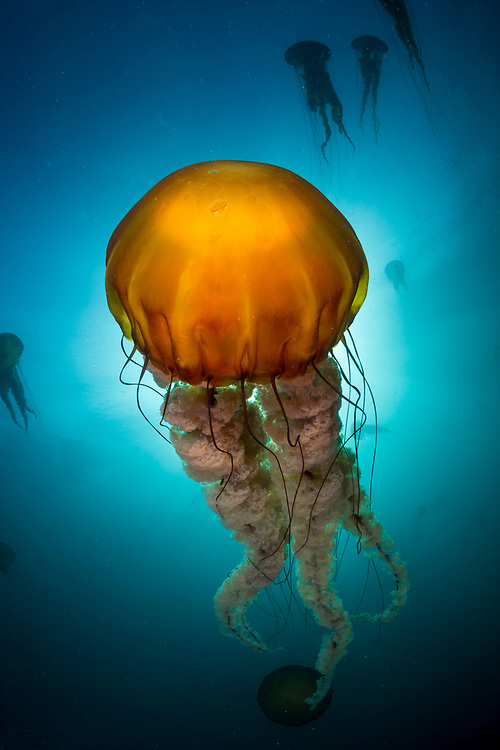 After a so-so dive offshore of Monterey, our dive team was given an amazing safety stop as large sea nettle jellies began drifting by. Usually the jellyfish come in after large algal blooms, so to be in the middle of a jelly smack with clear water was quite a treat.
