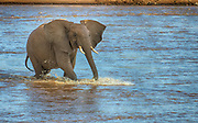 African elephant crossing the river Ewaso Ng'iro in Samburu National Reserve, Kenya.