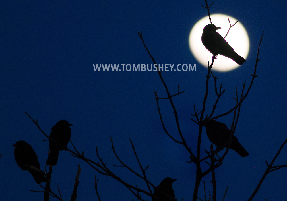 Crows perch in the branches of a tree as the waxing gibbous moon rises in the background in Middletown, New York. Thousands of crows gather each evening in Middletown to  roost during the winter.