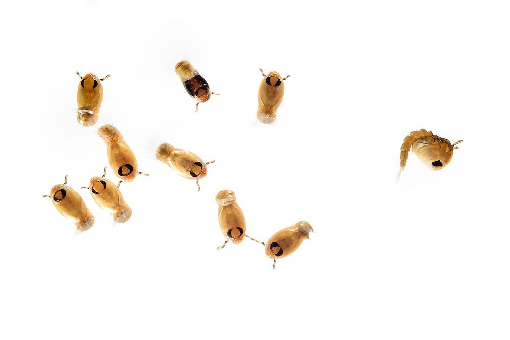 Mosquito (Culex pipiens) pupa at water surface. Kiel, Germany | Puppen der Hausmücke (Culex pipiens) Kiel Deutschland