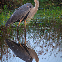 A great blue heron (Ardea herodias) is reflected in the dark waters of Back Bay National Wildlife Refuge at sunset.