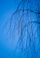 Silhouette of tree branches against blue sky at twilight.