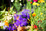 flowering garden. Yellow and purple blooming flowers