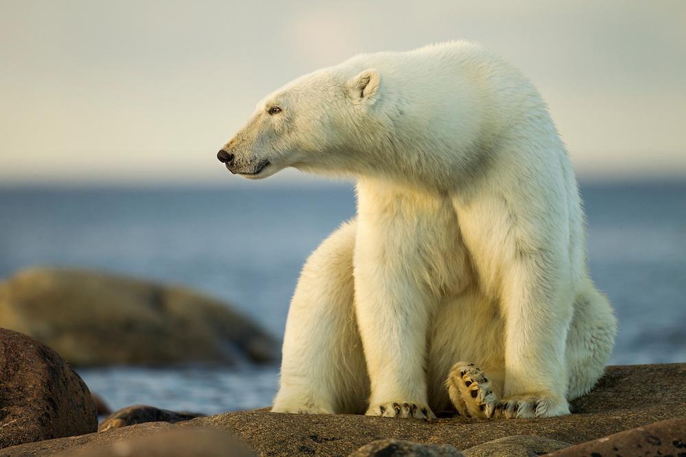 Canada, Manitoba, Polar Bear (Ursus maritimus)  resting along rocky shoreline at Hubbart Point along Hudson Bay on summer evening