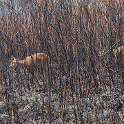 Thai Hog Deer (Axis porcinus) rehabiting an area after forest fires have spread to grass lands and food areas.