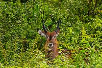 Waterbuck (antelope), Murchison Falls National Park, Uganda.