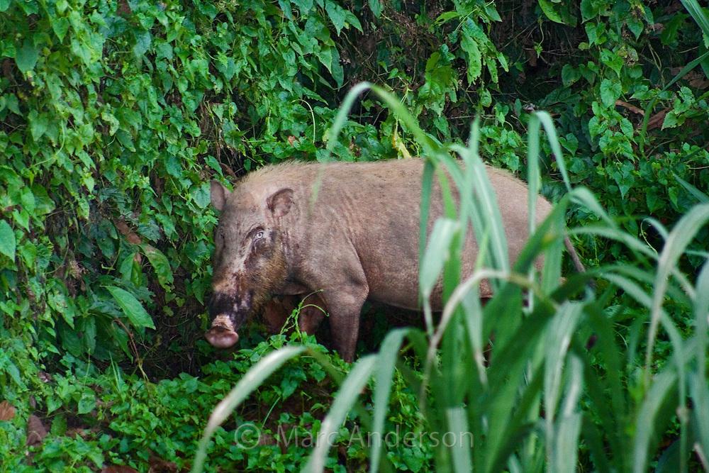 A wild Bearded Pig in the rainforest, Sabah, Malaysia..