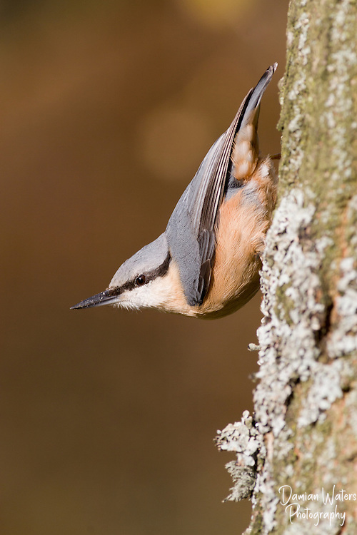 Nuthatch - Sitta europaea - perched on tree trunk looking to the left, Cheshire, April