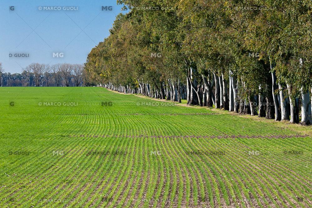 ARBOLEDA DE EUCALYPTUS Y CULTIVO DE TRIGO, RICARDONE, PROVINCIA DE SANTA FE, ARGENTINA (PHOTO © MARCO GUOLI - ALL RIGHTS RESERVED)