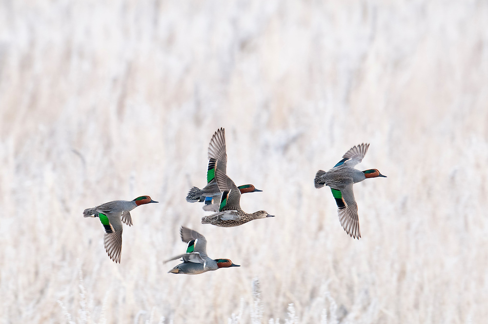 Green-winged Teal, Anas crecca carolinensis, Brown County, South Dakota