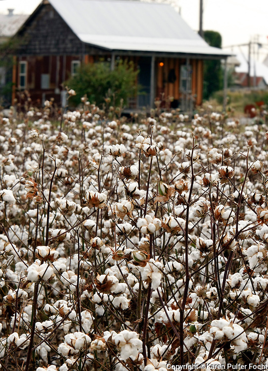 Cotton springs up out of the fields where the blues began in rural Mississippi. Slaves worked these fields at one time where they sang in code to each other to communicate and help pass the time.