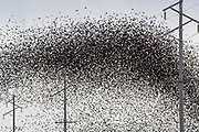 Red-winged Blackbirds, Agelaius phoeniceus, Brown County, South Dakota