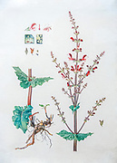 Hand drawn and painted botanic study of Flowering Jerusalem Sage (Salvia hierosolymitana) Israeli wildflower By Shmuel Charuvi C. 1923. Watercolor on paper
