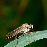 A robber fly, Asilidae, at KHAO KHIEO Wildlife Sanctuary, Chonburi. Thailand
