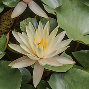 This is just one of a group of lotus blossoms.  Look closely, this flower has a little visitor inside!