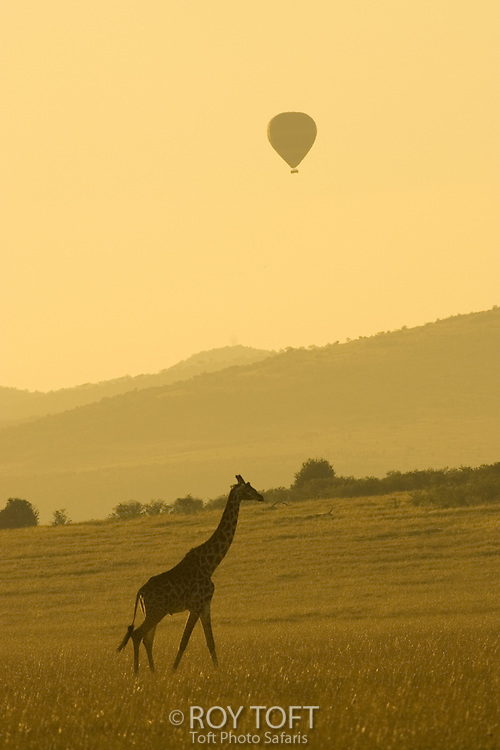 A Masai giraffe with a hot air balloon overhead.